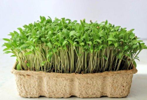 Semená na klíčky a mikrozeleninu